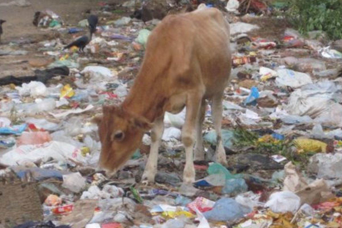 cow in trash looks like it's looking through trash