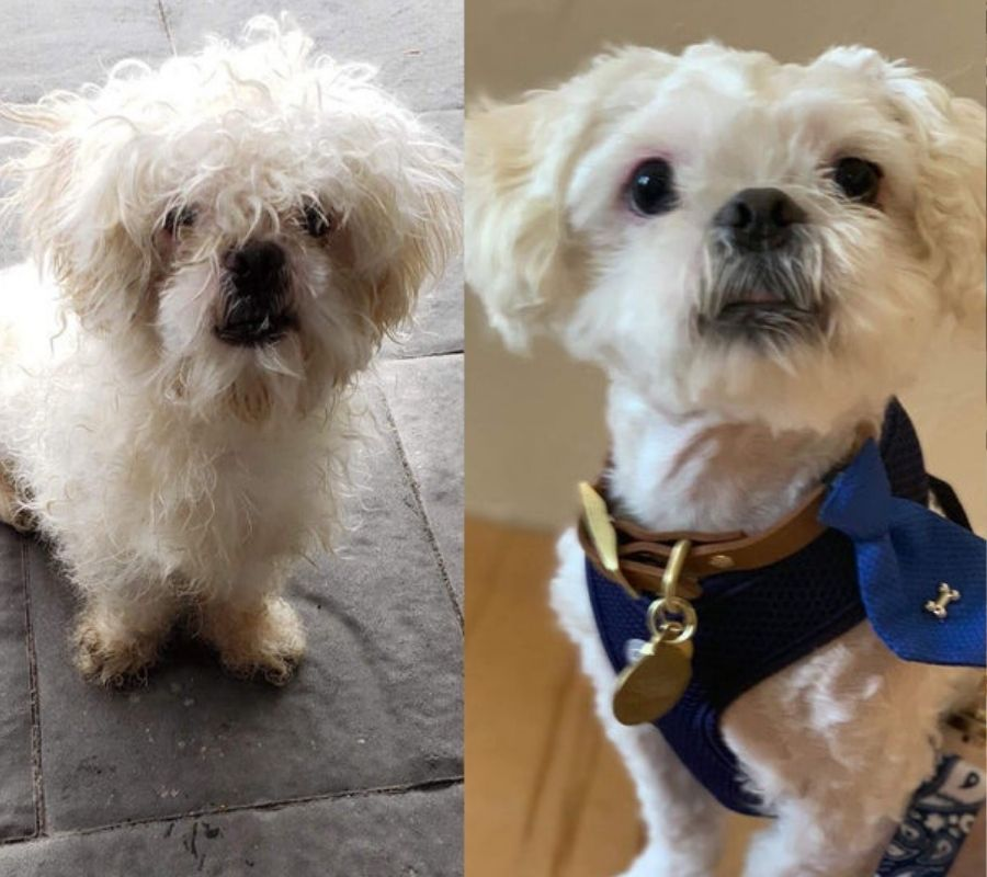 before and after adoption dog white looks good in after photo