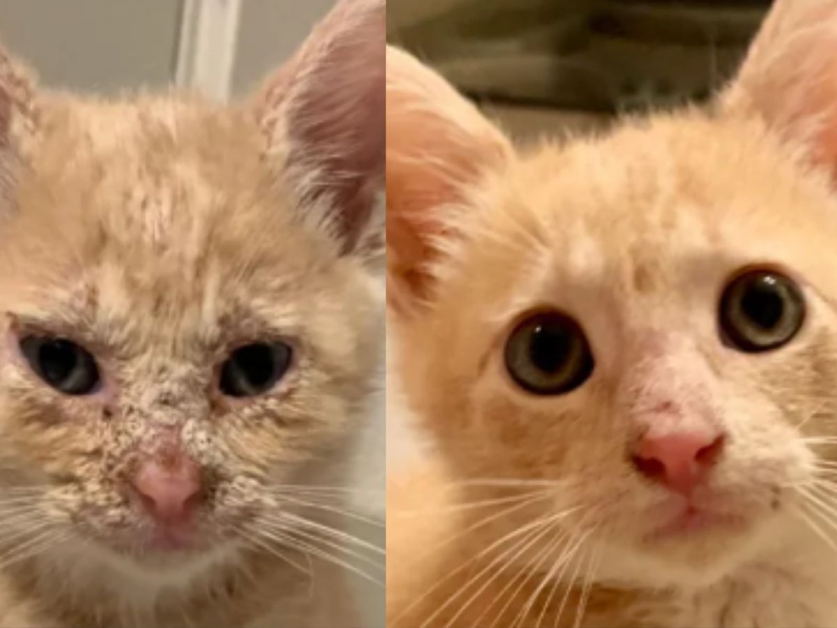 cat with bacterial infection but looking a lot happier and healthier after adoption