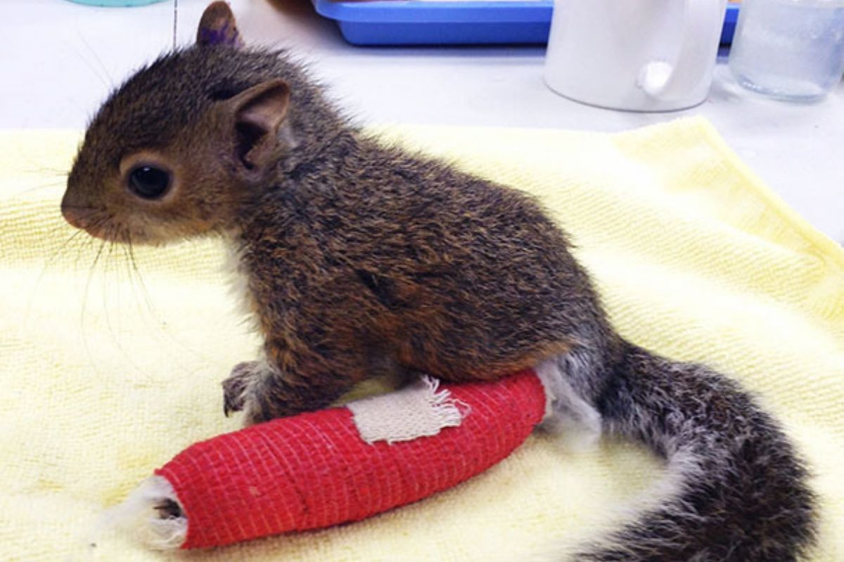 Squirrel With Cast