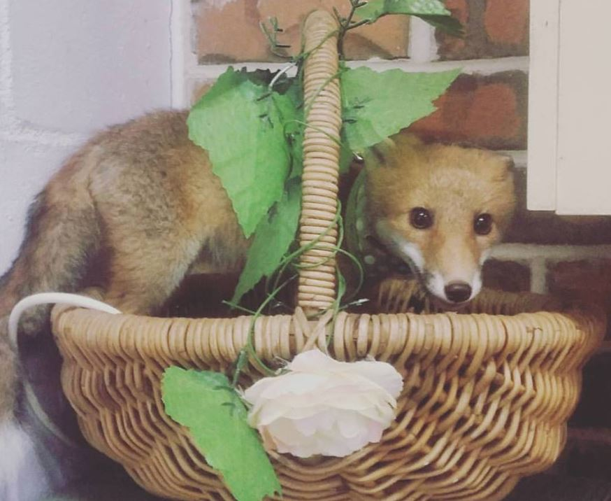 Svetlana the fox in a fruit basket at Sugarshine Sanctuary