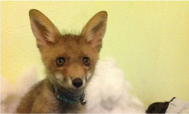 Willa the fox kit at Sugarshine Sanctuary in Australia