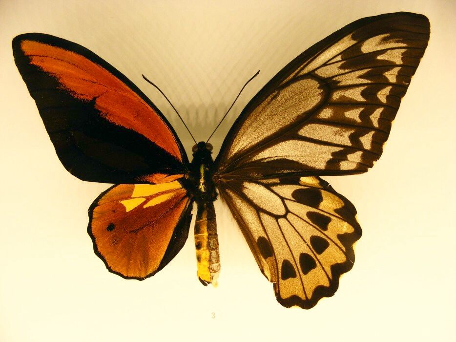 a chimera butterfly