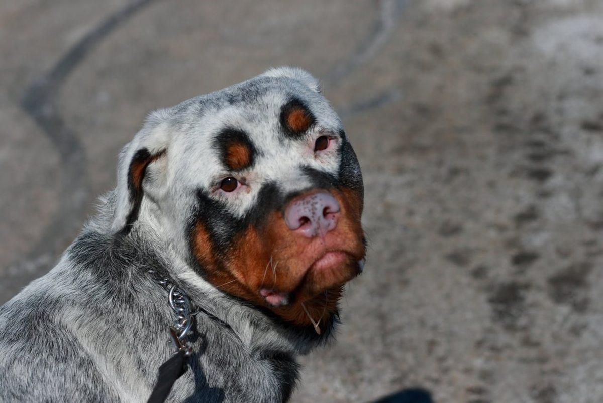 a rottweiler with vitiligo
