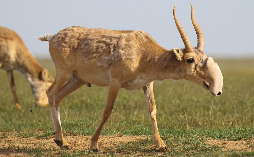 a saiga antelope migrating across arid plains