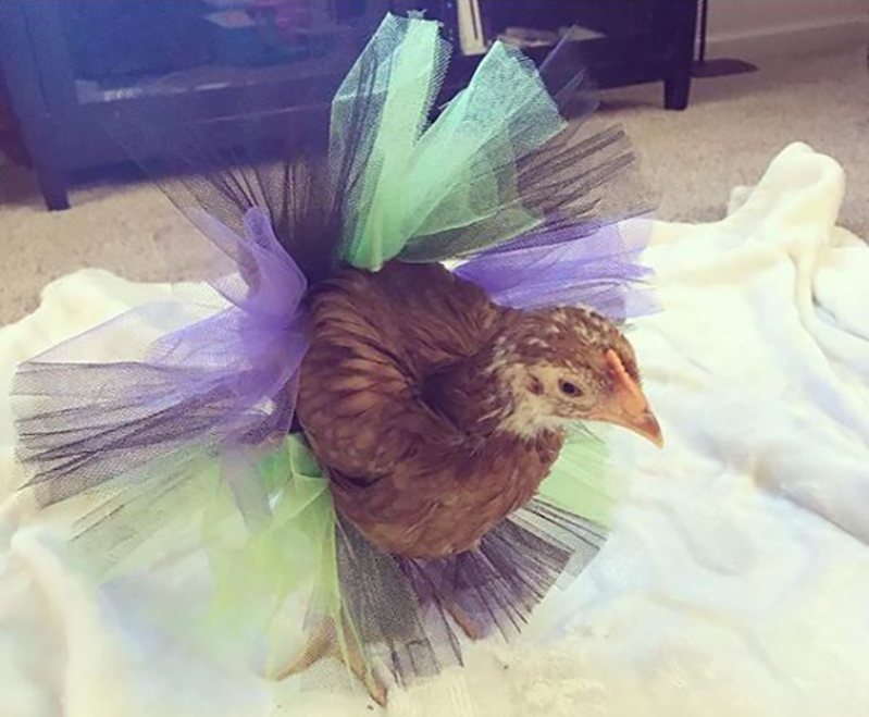 a young chicken wearing a tutu that might be too big