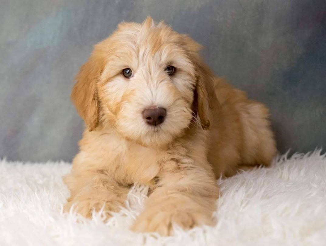 Whoodles are a cross between a Poodle and a Soft-Coated Wheaten Terrierblonde