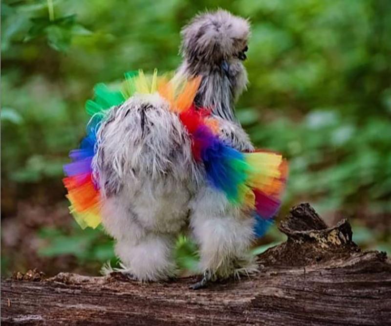 chicken catwalk in a rainbow tutu