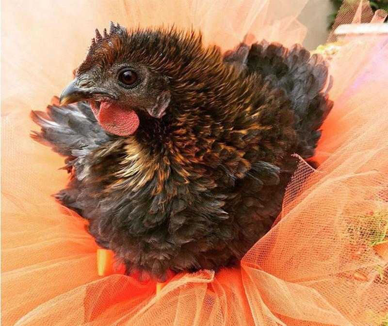 close up of a hen in an orange tutu