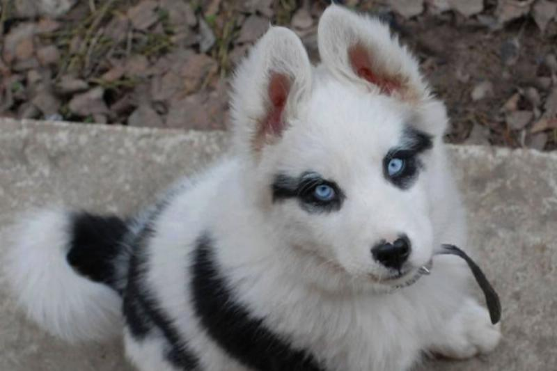 husky with black spots over her eye
