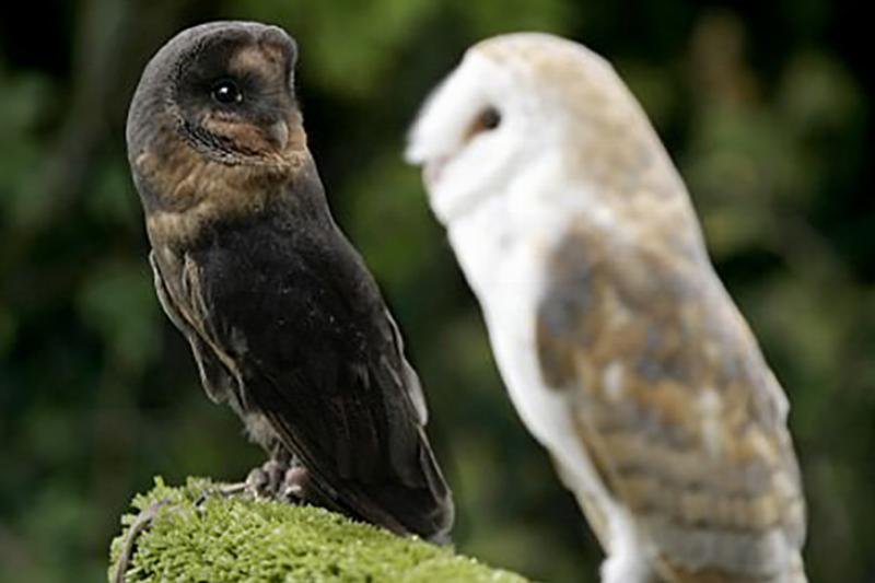 melanistic barn owl with a common white barn owl