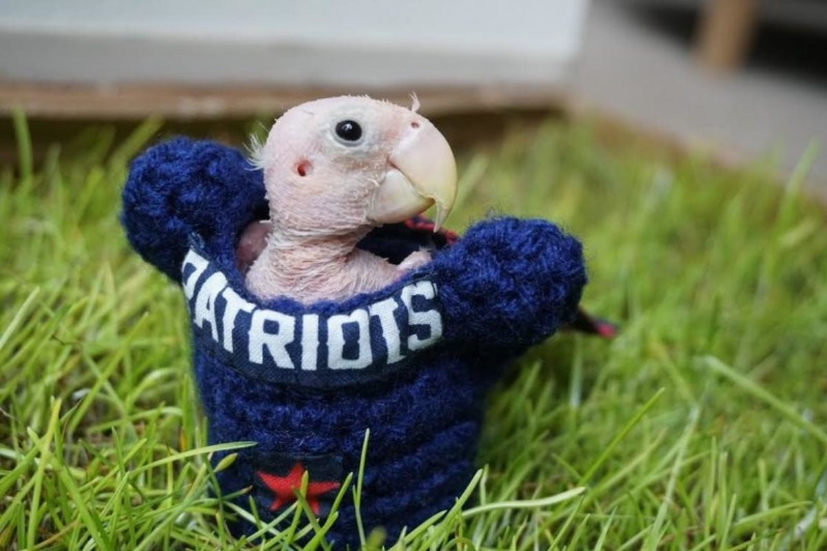 naked bird inside of a patriots knitted sweater