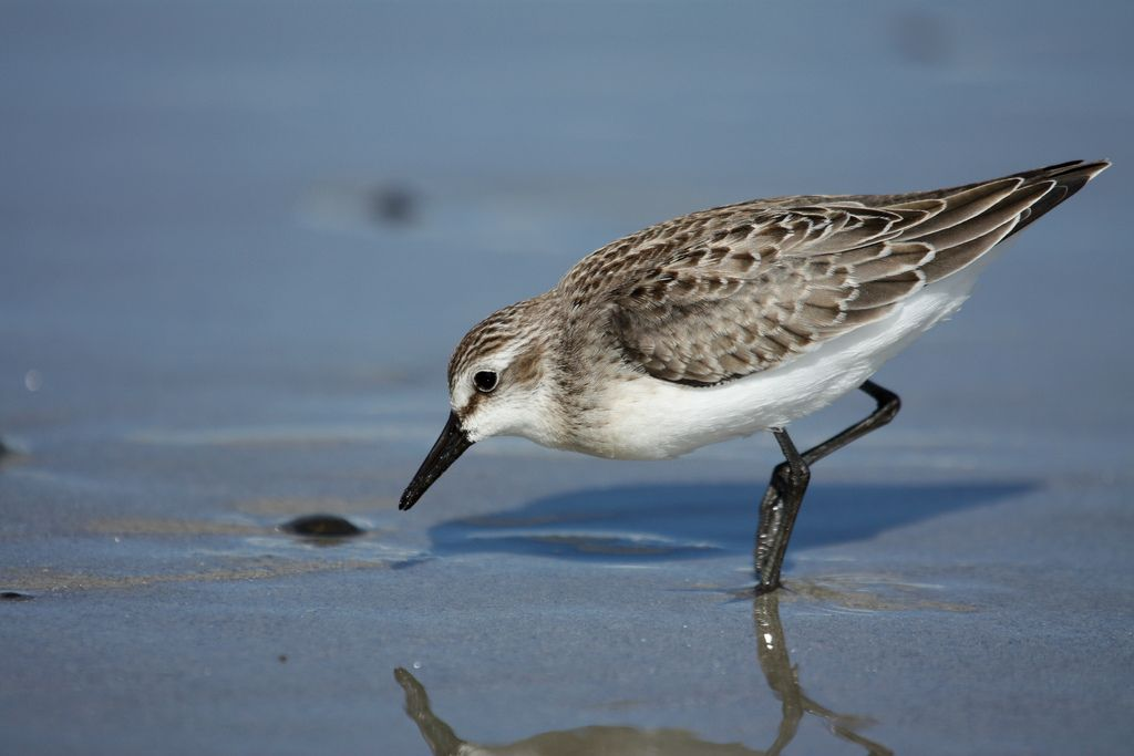 a semipalmated sandpipers scans the shoreline for food