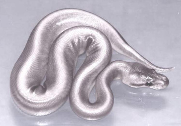 silver boa