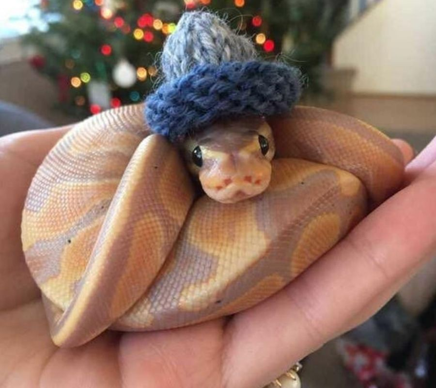 snake wearing a knitted hat