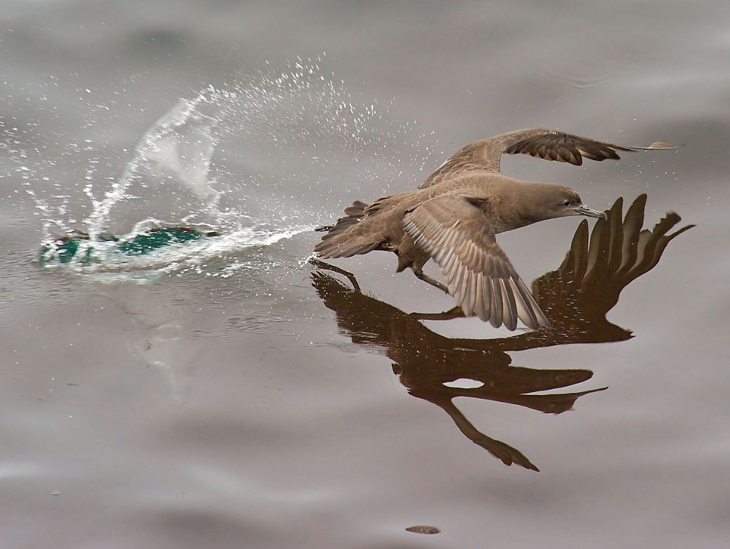 sooty shearwater flying across the water by Robert Cavesooty shearwater flying across the water by Robert Cave