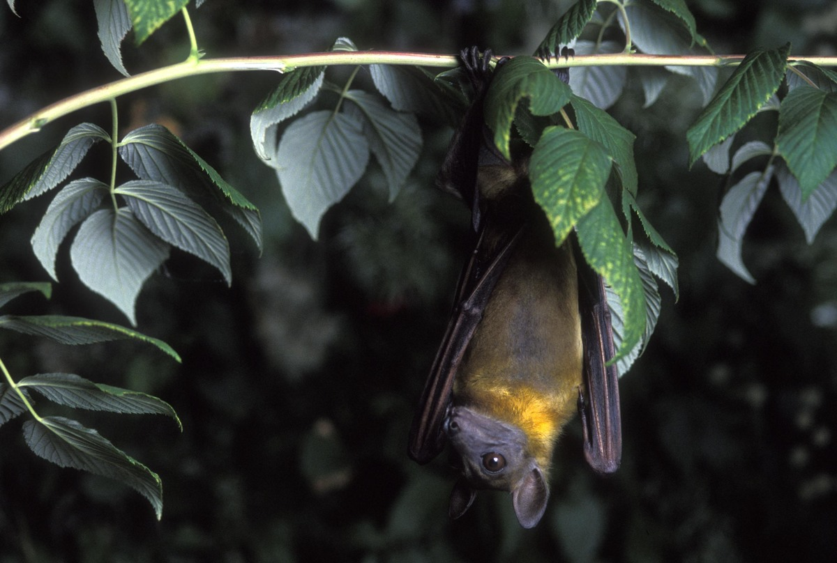 straw colored bat hanging off a tree