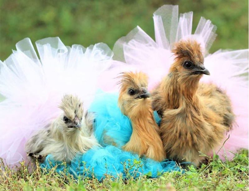 three chickens in a row all wearing different colored tutus