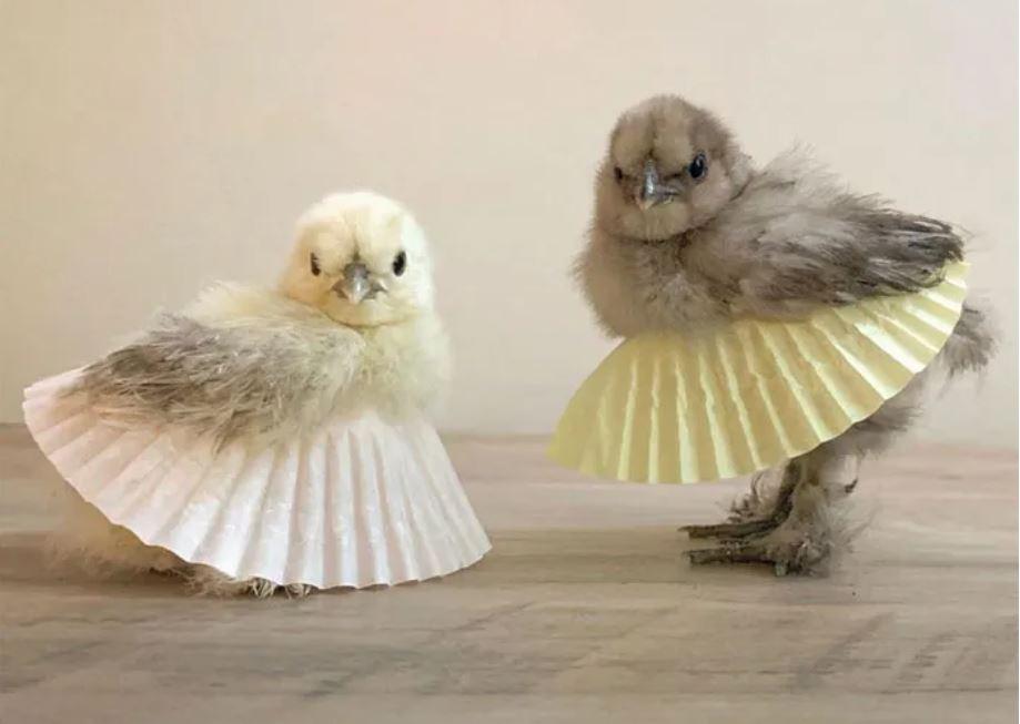 two chicks wearing cupcake liners as tutus