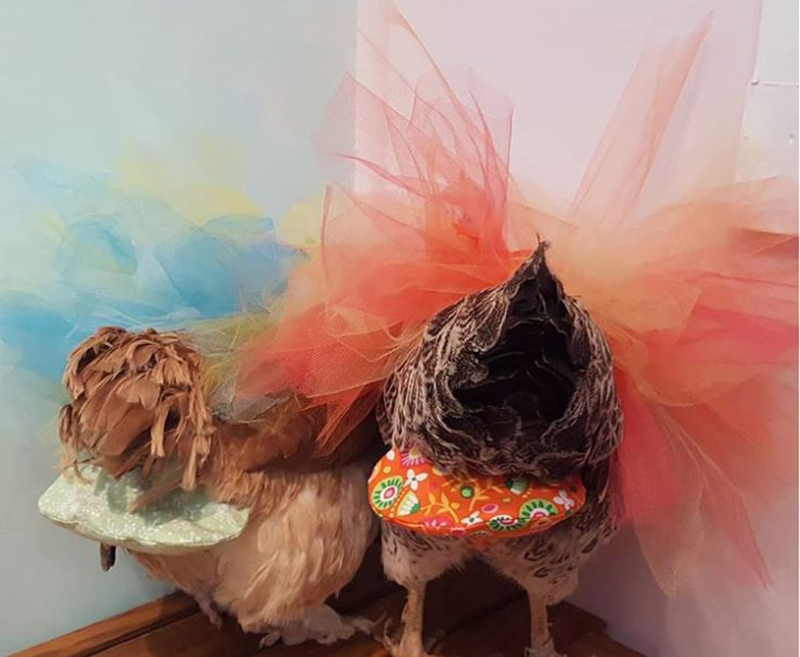two hens wearing tutus with matching diapers