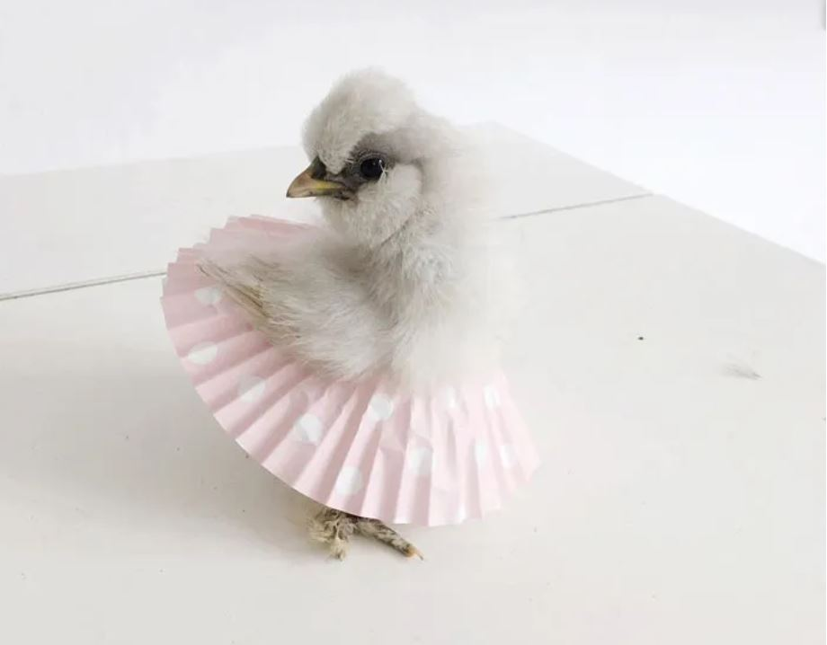 white chick wearing a pink cupcake liner as a tutu