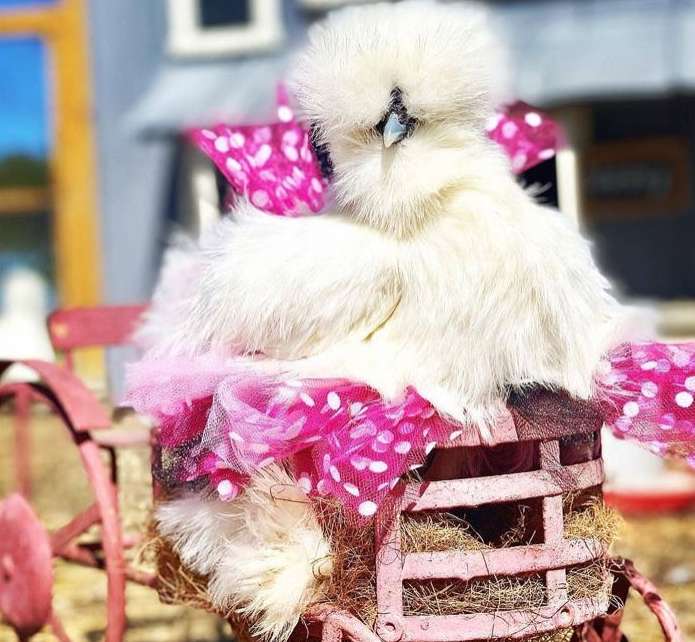 white chicken in a pink polka dot tutu rididng in a miniature carriage