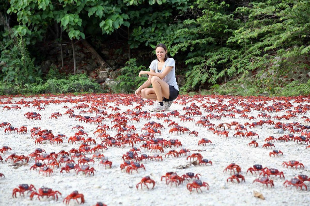 woman crouches near the red crabs migrating on Christmas Island off of Australia