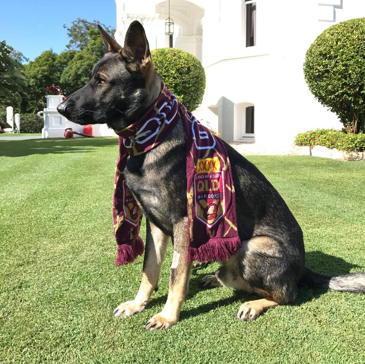 Gavel wearing a queensland maroons scarf