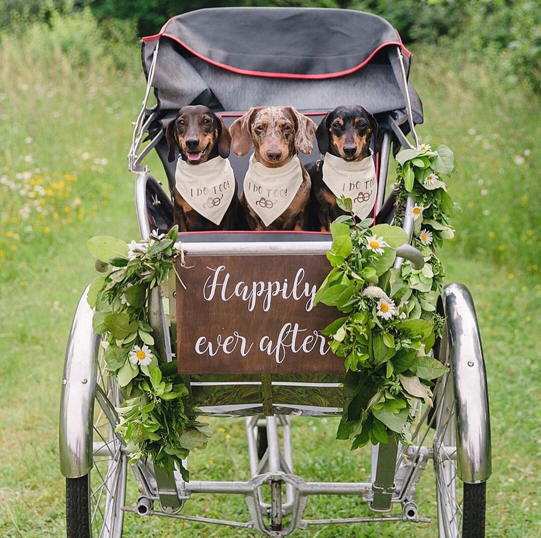 three dachsunds in a carriage