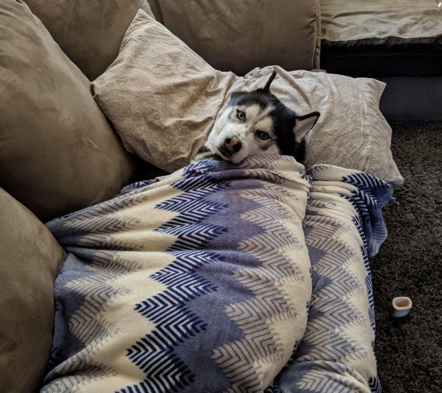 husky staring at camera in blanket on couch