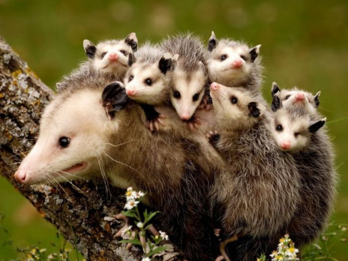 possum with her babies