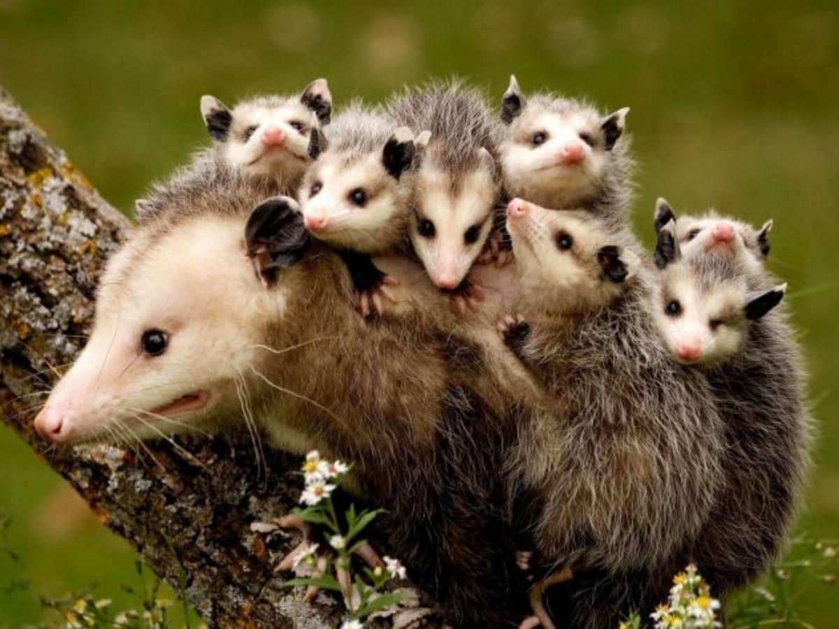 possum with her babies