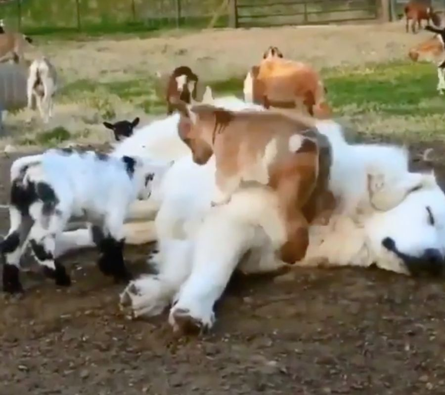 goats jumping on dog and it sleeps
