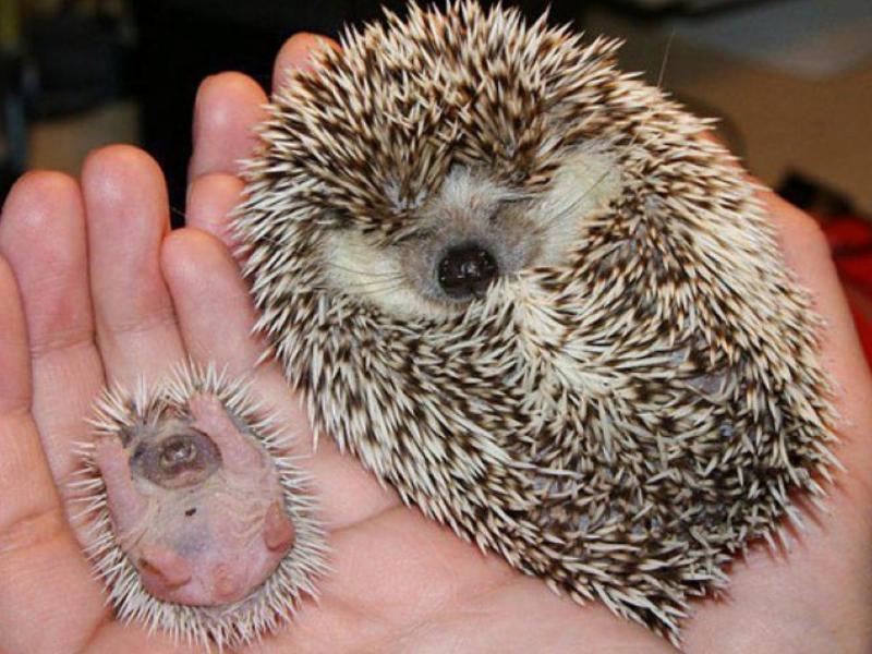porcupine and baby sleeping