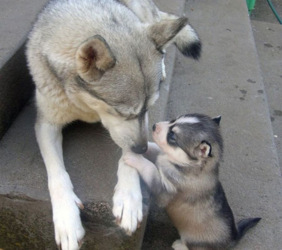 baby dog and husky parent having a tet a tet