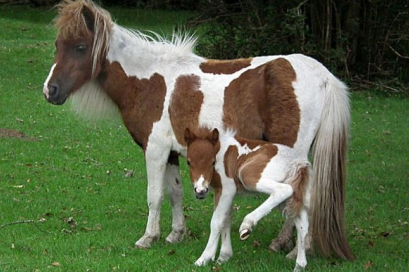 mom pony with baby peeing