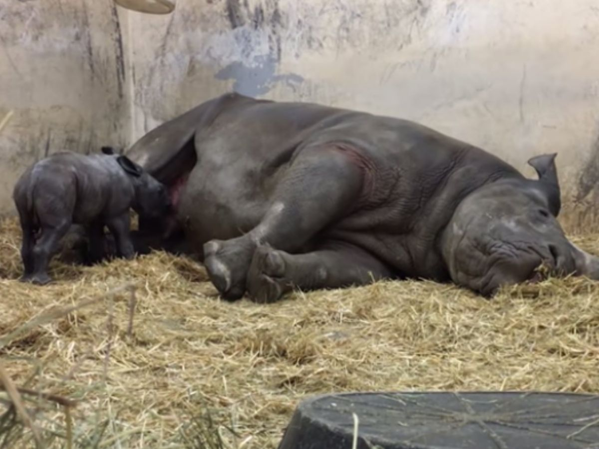 baby rhino nursing from sleeping mom