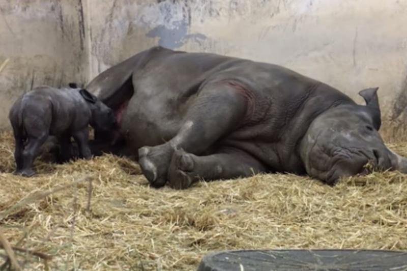 baby rhino nursing from sleeping mom