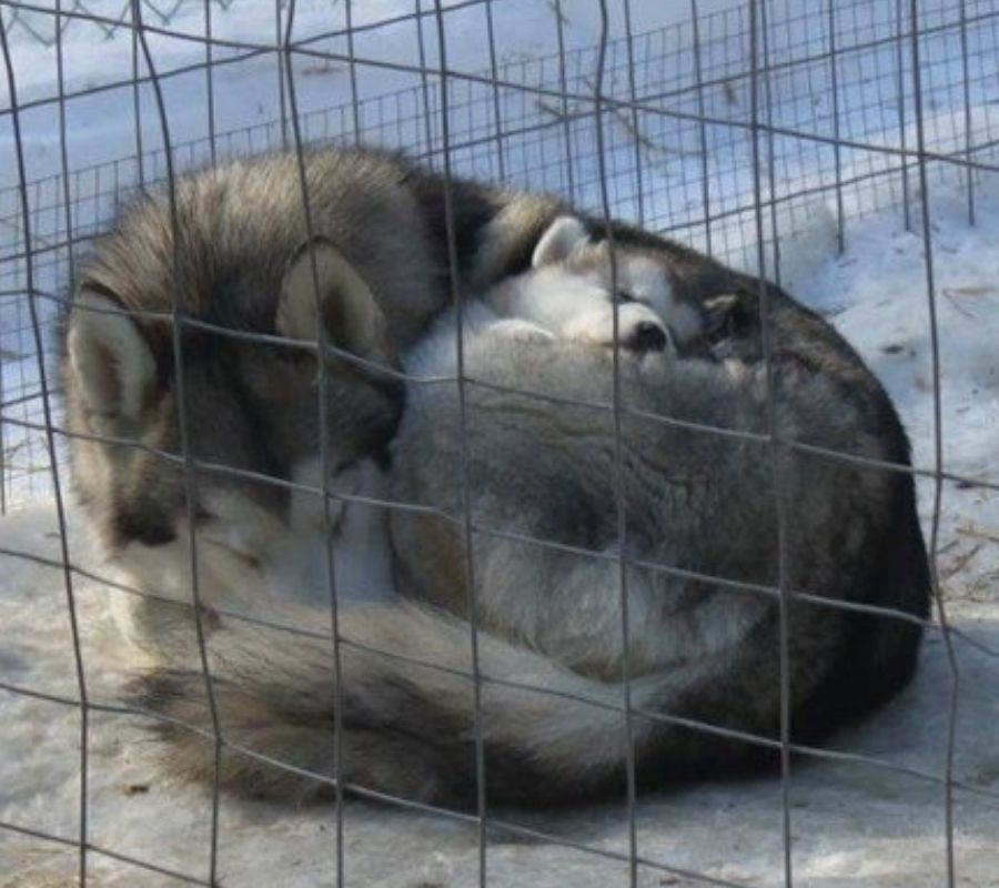 mama wolf and baby cuddle up for warmth in a cinnamon bun