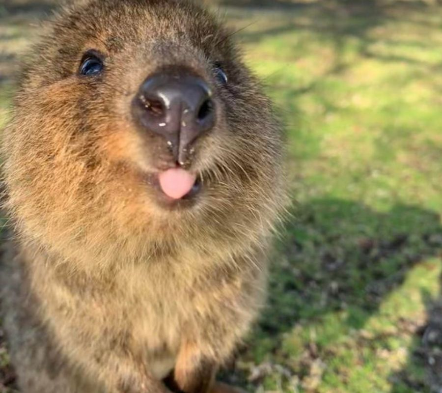 little quokka sticking out tongue