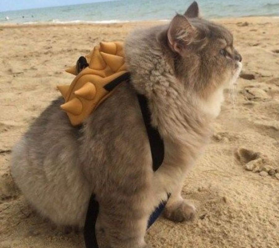 cat wearing a backpack looking cute on beach