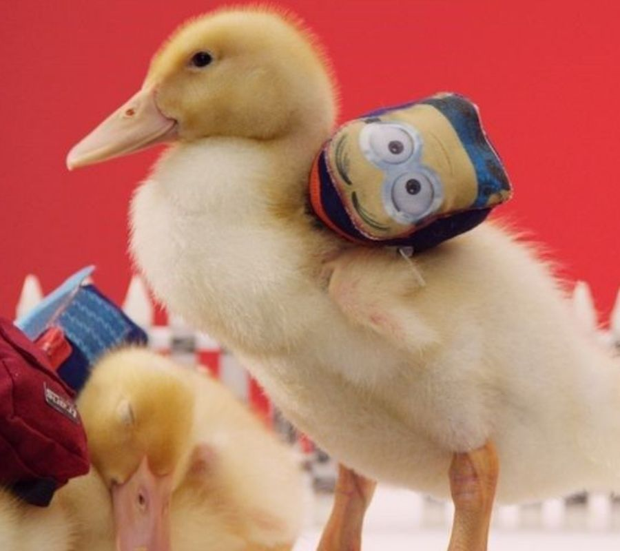 duck with backpack minion