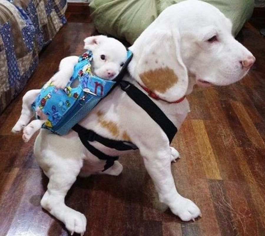 dog with baby doggy in backpack