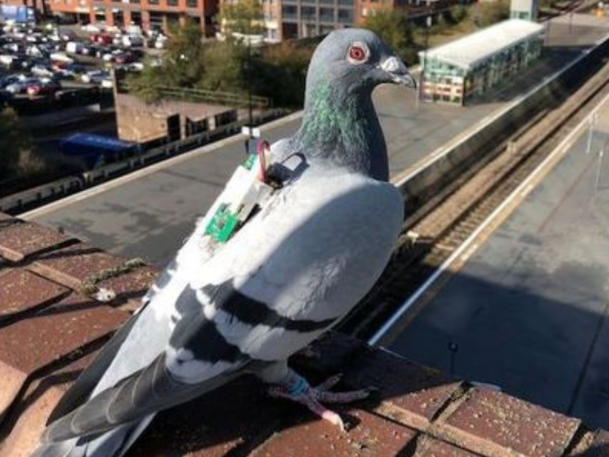 pigeon with climate data backpack