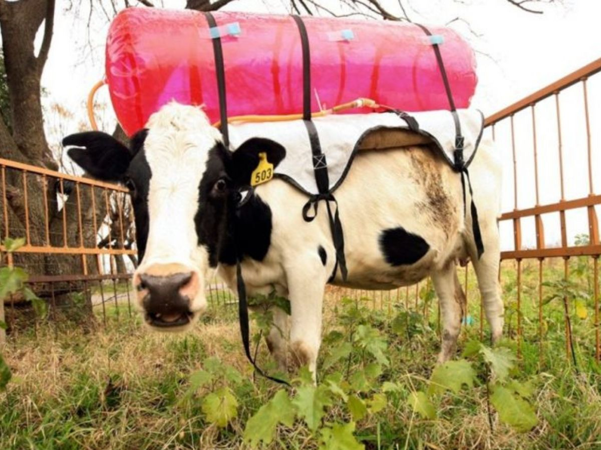 cow with tank on its back