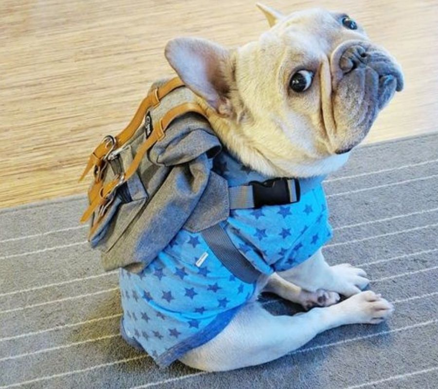 doggy frenchie puppy wearing a backpack