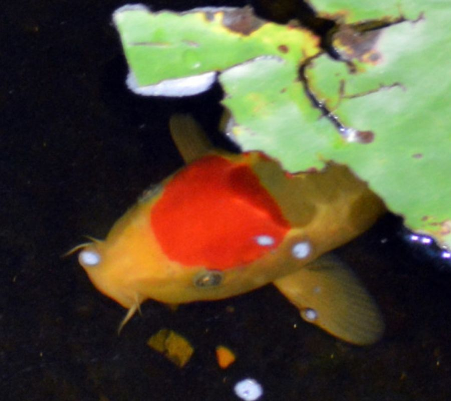 koifish in pond swimming