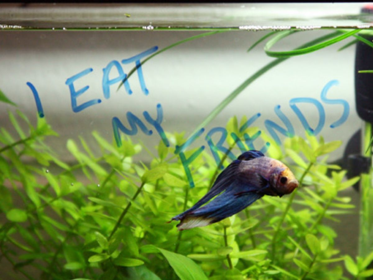 i eat my friends sign in from of betta