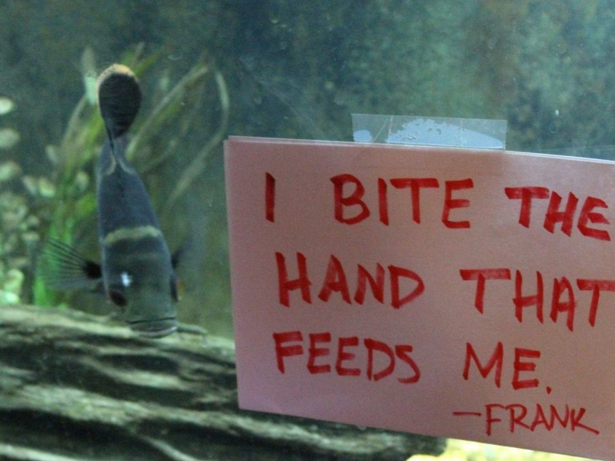fish in tank bitiing hand that feeds it