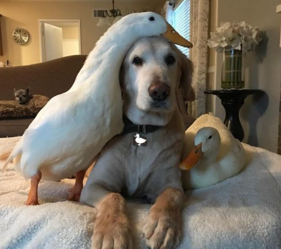 ducks and dog chilling on a bed